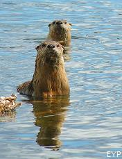 River otters, Lamar Valley, Yellowstone National Park