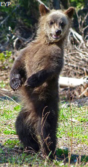 Grizzly Bear Cub, Grand Teton National Park