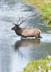 Bull elk in the Madison River, Madison Junction Area, Yellowstone National Park
