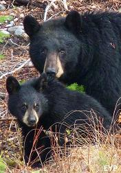 Black Bear Sow & Cub, Grand Teton National Park