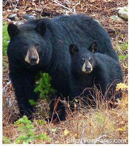 Black Bears, Grand Teton National Park