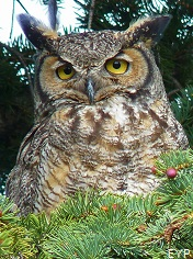Great Horned Owl, Yellowstone National Park