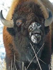Buffalo, Yellowstone National Park