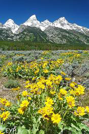 Wildflowers, Grand Teton National Park